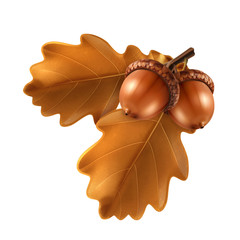 Oak branch with acorns, vector illustration