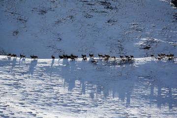 Migration of Ibex. Herd of goats walking on the ridge