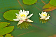 lotus on the water closeup