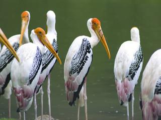 Painted Stork under Rain.
