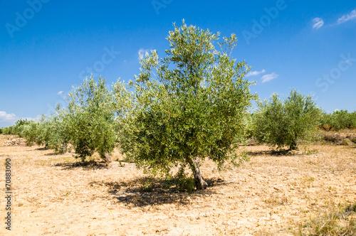 Tuinposter Olijfboom olive tree