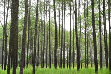 pine forest in mountain,Thailand