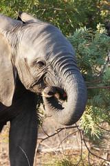 Baby elephant eats branch of acacia
