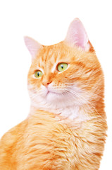Beautiful red adult cat