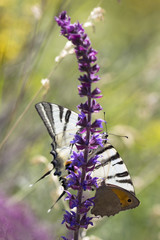 butterflys Podalirius and Coenonympha on a wild summer sage
