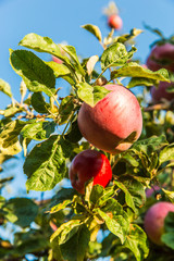Red apples on apple tree branch ready to be harvested