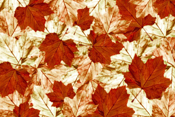 autumn maple leaves background  platanus 4