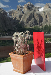 Edelweiss in pot on table in panoramic alpinine restaurant