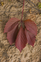 red autumn leaf of wild grape