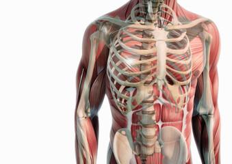 Oberkörper Anatomie Muskeln und Knochen