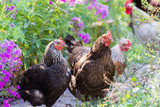 Chickens Laying hens on grass outdoors day