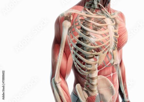 GamesAgeddon - Oberkörper Anatomie Muskeln und Knochen - Lizenzfreie ...