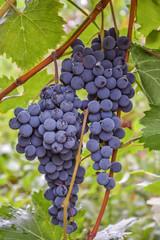 гроздь винограда7