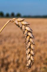 Landwirtschaft - reife Weizenähre