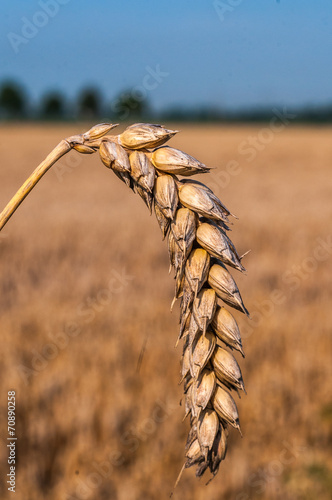 canvas print picture Landwirtschaft - reife Weizenähre