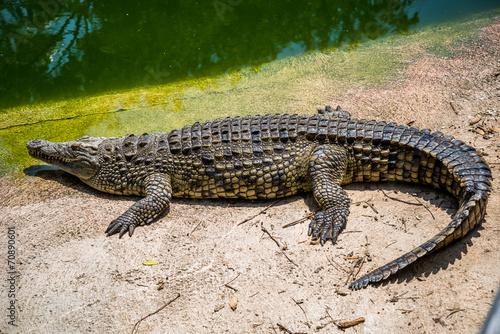 Fototapeten Krokodile cocodrilos Crocodiles fighting for food in park.