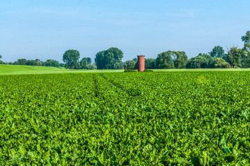 Landwirtschaft-Rübenfeld