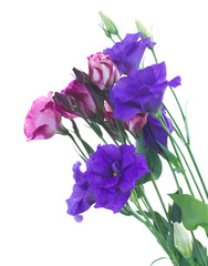 bunch of  violet eustoma flowers