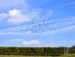 canvas print picture - Vogelschwarm über Weinreben