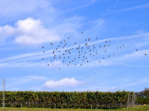 canvas print picture Vogelschwarm über Weinreben
