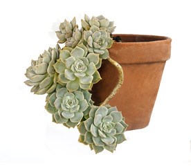 Hen and Chicks plant isolated on white background
