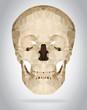 Human skull vector isolated geometric illustration