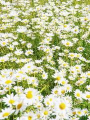 ox-eye daisies field