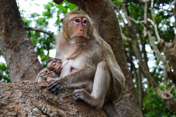 Mom and baby monkeys in Thailand