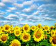 Obrazy na płótnie, fototapety, zdjęcia, fotoobrazy drukowane : sunflower field
