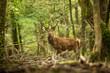 cerf en forêt