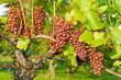 Weintrauben in Beuren, schwäbische Alb