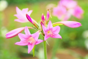 Pink amacrinum flowers