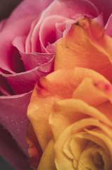 Dettagli di rose