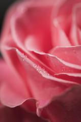 Dettagli di una rosa