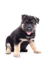 funny German Shepherd puppy on white background