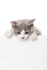 Cute kitten with blank billboard.  Lovely British Shorthair kitt
