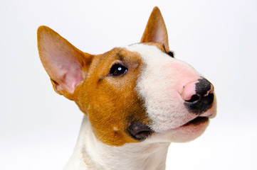 Portrait of the dog breed bull terrier on white background