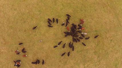 Cattle in field drone view