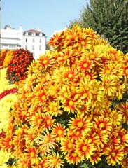 chrysanthèmes rouges et jaunes