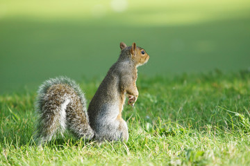 Gray Squirrel, Sciurus carolinensis