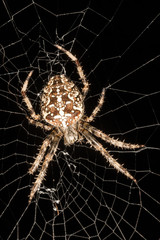 garden spider on web up close