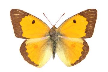 papillon citron soufré