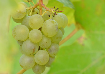 closeup bunch of grapes on grape plant