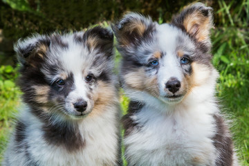 Portrait of two young sheltie dogs