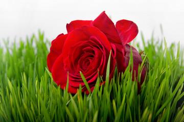 Rose in the grass closeup