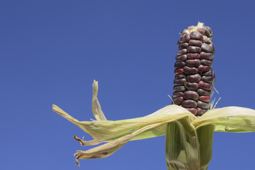 Image of multi-colored Heirloom Sweet Corn in the sky