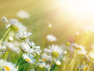 Beautiful daisy flowers bathed in sunlight