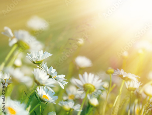 Foto op Canvas Madeliefjes Beautiful daisy flowers bathed in sunlight