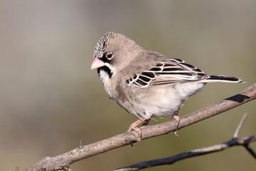 Scaly-feathered weaver bird
