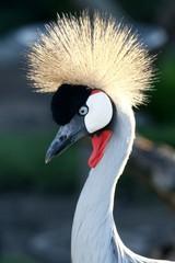 Crowned Crane Bird